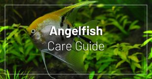 angelfish-care-guide