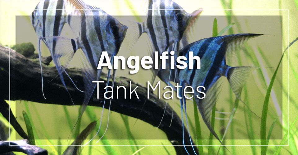best-angelfish-tank-mates