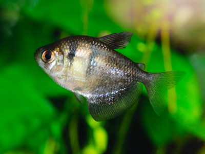 Black Skirt Tetras