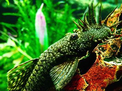 bristlenose-pleco-fish