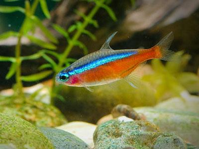 cardinal-tetra-fish