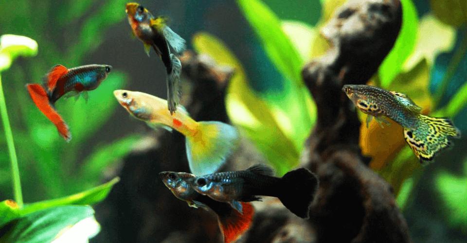 guppy-fish-care