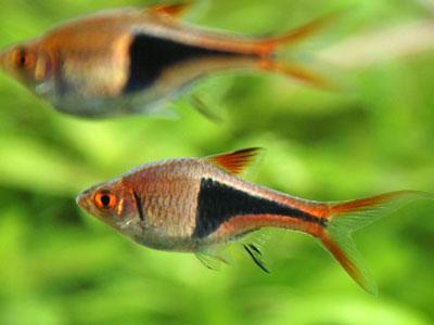 harlequin-rasboras-fish