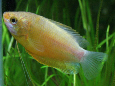 honey-gourami