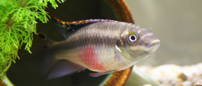 kribensis-cichlids-rainbow-kribs