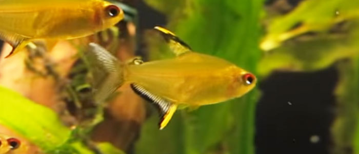 lemon-tetras