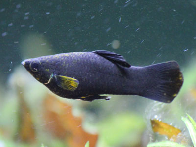 molly-fish