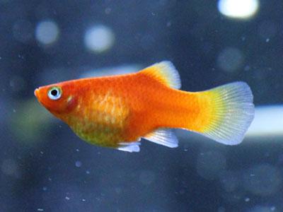 red-platy-fish