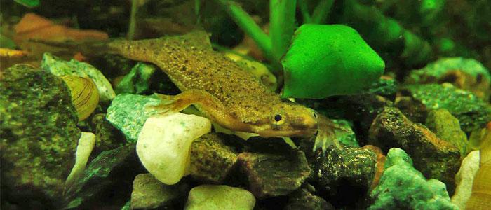 african-dwarf-frog