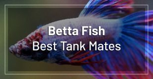 best-betta-fish-tank-mates