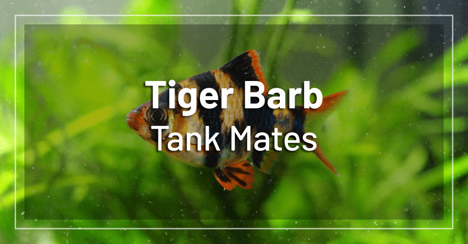 best-tiger-barb-tank-mates