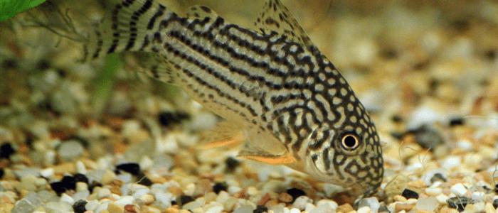 corydora-catfish