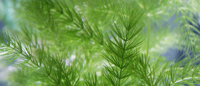 hornwort-ceratophylum-demersum