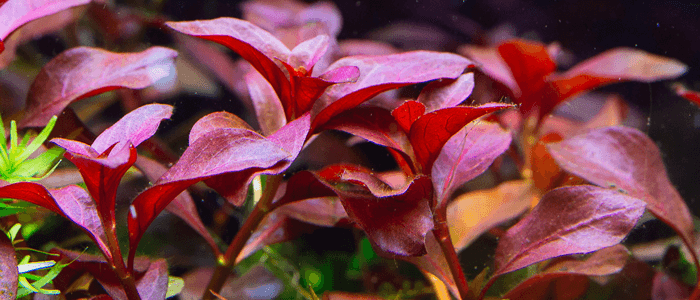 red-ludwigia-repens