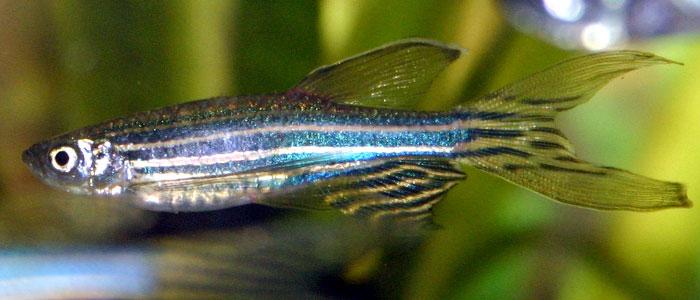 zebra-danio-fish