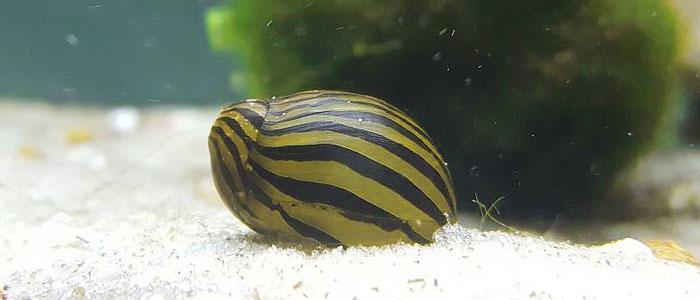 zebra-snail