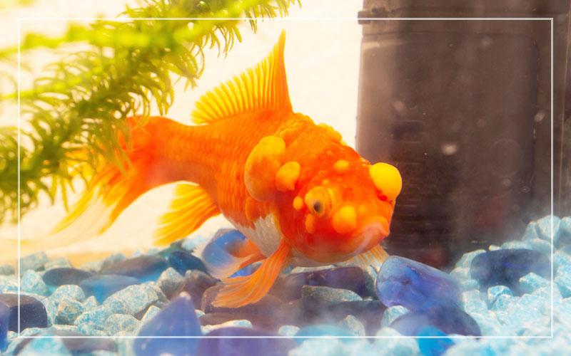 Freshwater Aquarium Fish Diseases Symptoms Remedies