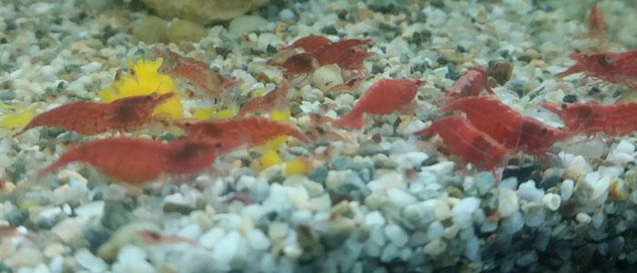 breeding-red-cherry-shrimp