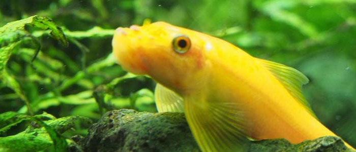 chinese-algae-eater