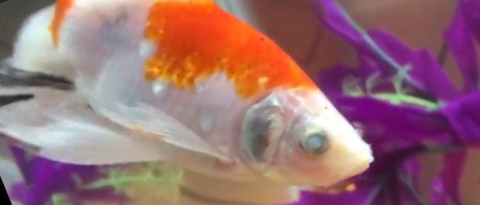 cloudy-eyes-goldfish
