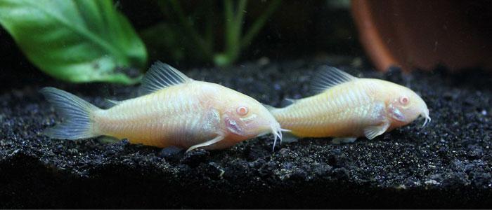 corydoras-catfish