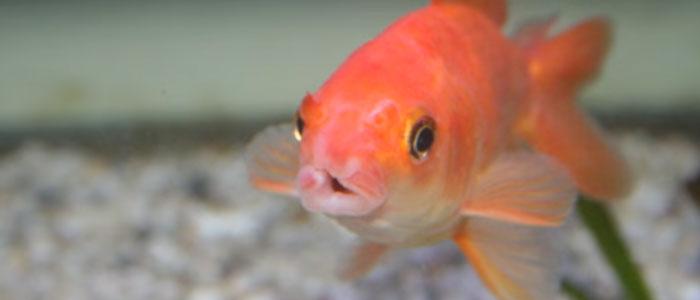 cotton-mouth-disease-goldfish