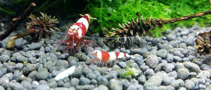 crystal-red-bee-shrimp