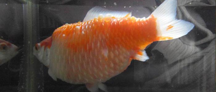 dropsy-goldfish