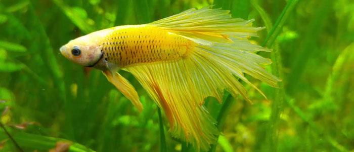 fin-rot-betta-fish