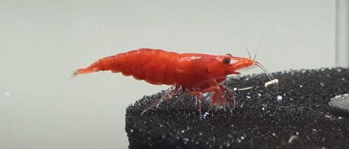 fire-grade-red-cherry-shrimp