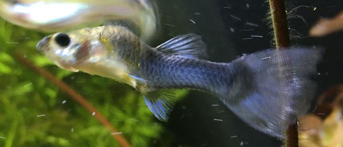 guppy-fish-tuberculosis