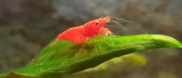 high-grade-sakura-red-cherry-shrimp