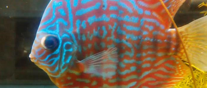 popeye-discus-fish