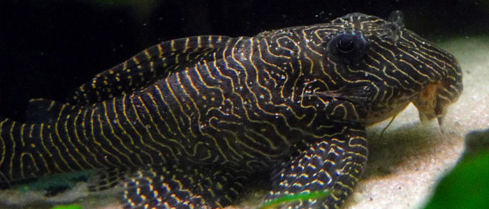 queen-arabesque-pleco