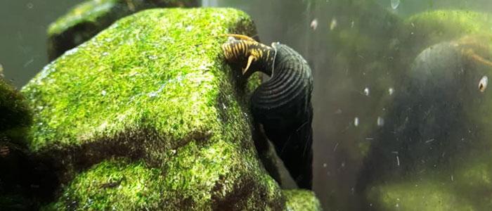 rabbit-snail-algae-eater