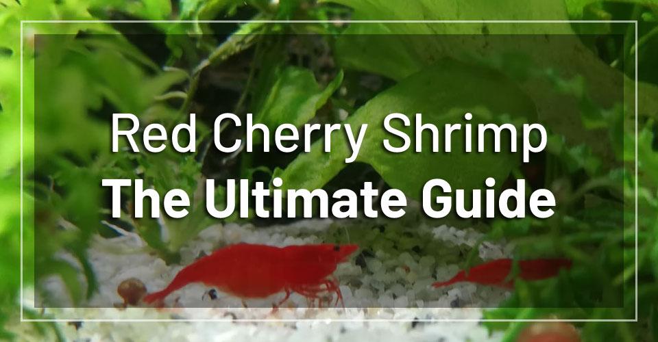 red-cherry-shrimp
