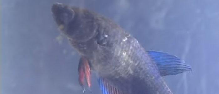 velvet-gold-dust-disease-betta-fish