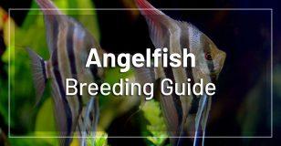 angelfish-breeding