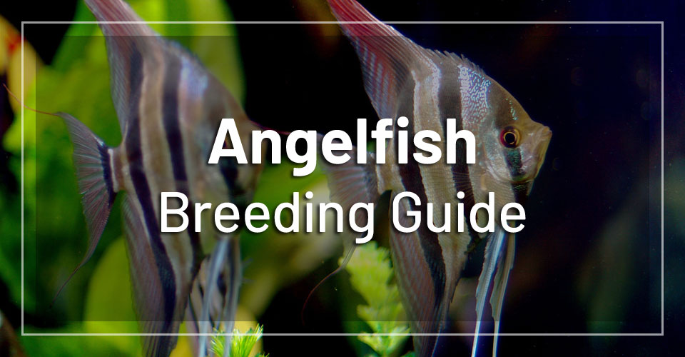 angelfish-breeding