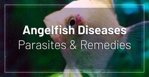 angelfish-diseases-parasites-remedies