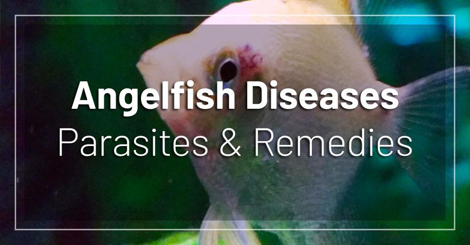 angelfish-diseases-parasites-remedies