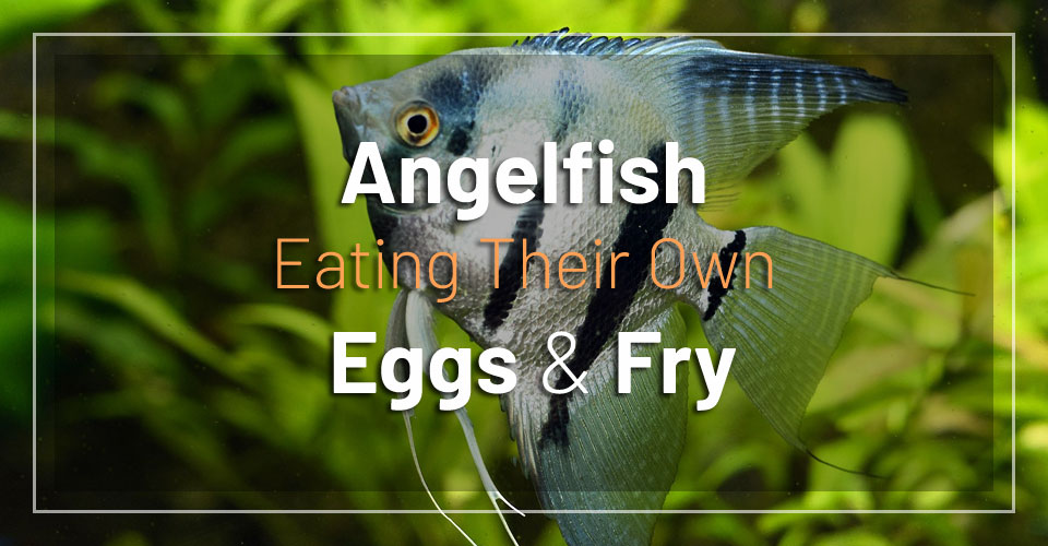 angelfish-eating-their-own-eggs-fry