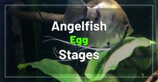 angelfish-egg-stages