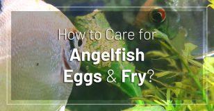 angelfish-eggs-fry-care