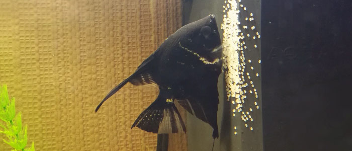 angelfish-eggs
