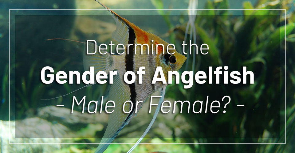 angelfish-gender