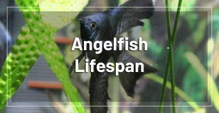 angelfish-lifespan