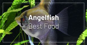 best-food-angelfish