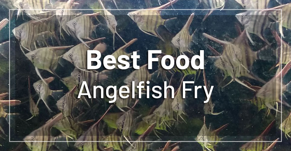 best-food-angelfish-fry