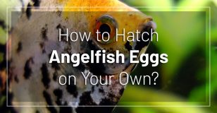 how-hatch-angelfish-eggs